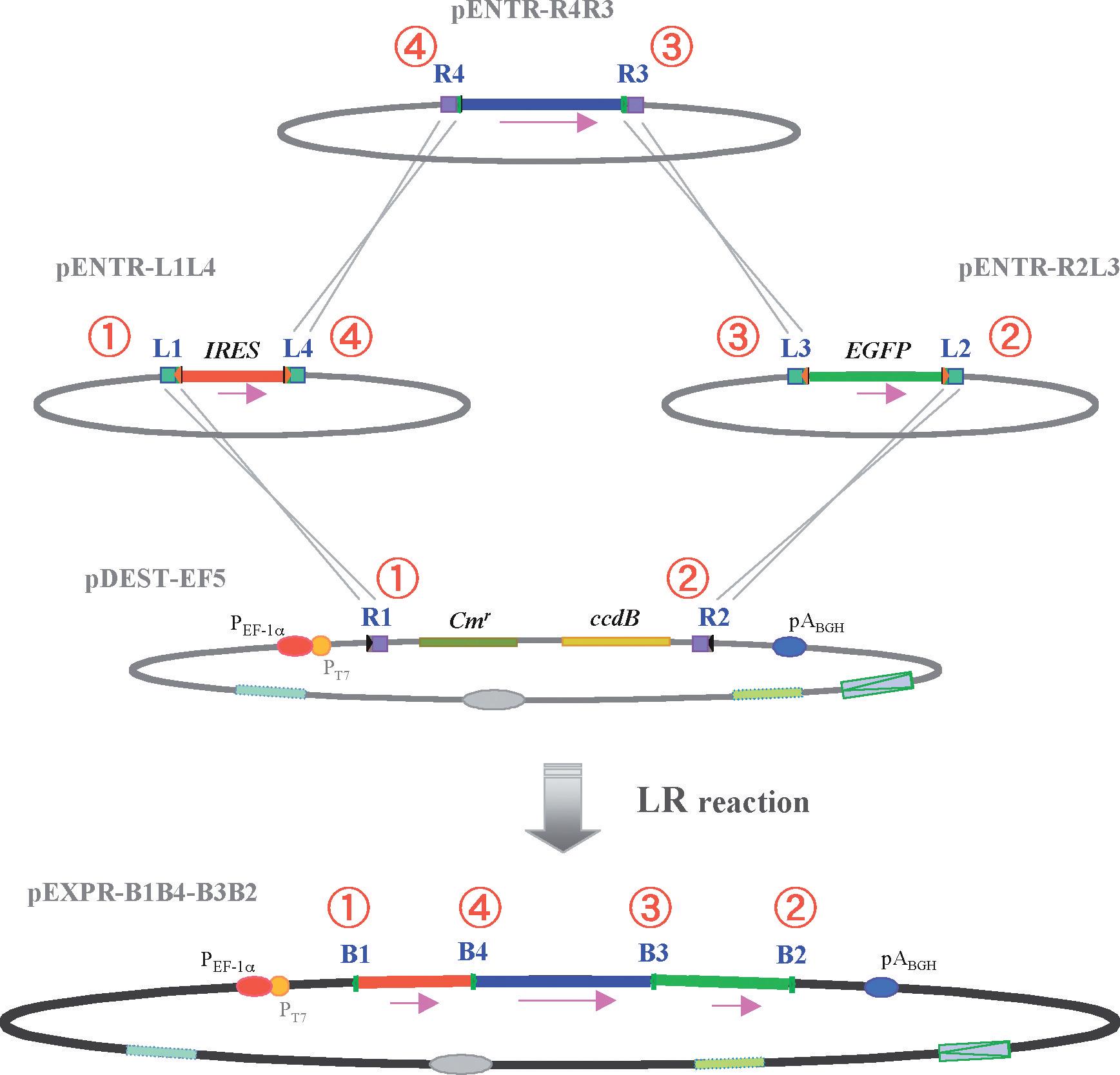 DNAクローニング